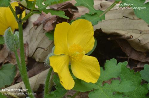 Wood Poppy, aka Celandine Poppy (Stylophorum diphyllum)