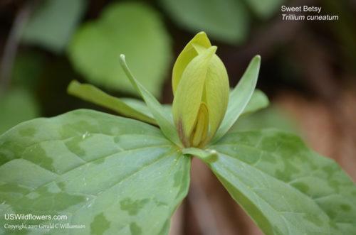Sweet Betsy (Trillium cuneatum)