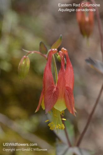 Eastern Red Columbine - Aquilegia canadensis