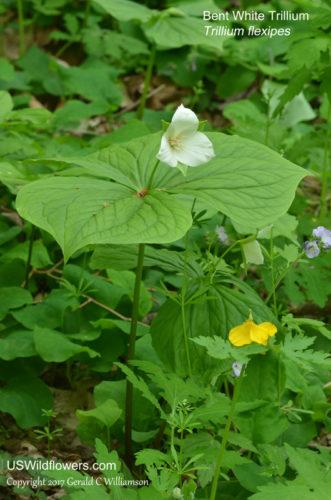 Bent White Trillium - Trillium Flexipes