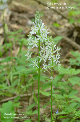 Wild Hyacinth; Atlantic Camas - Camassia scilloides