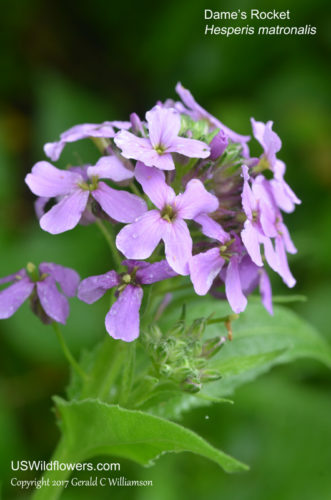 Dame's Rocket, Damask Violet, Night-scented Gilliflower, Queen's Gilliflower, Mother-of-the-evening, Summer Lilac - Hesperis matronalis